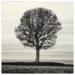 Baltic_Tree (800x800) (800x800)