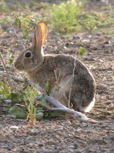 A wild cottontail rabbit